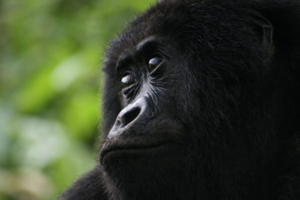 A gorilla's curious eyes