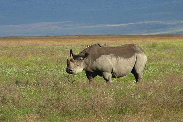Endangered Black Rhinoceros